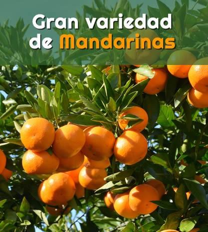 Gran variedad de mandarinas